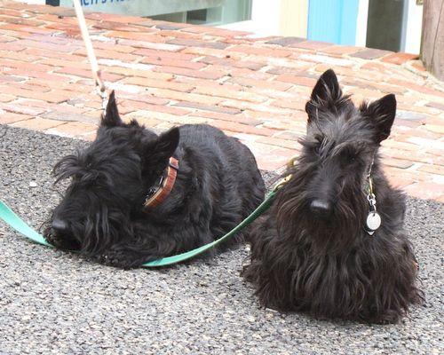 IMG_7370 - Version 22014-04-26-scottie-scottish-terrier-pair-© 2011 Penny Cherubino