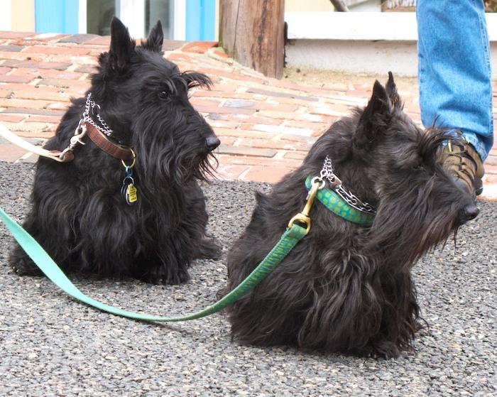 IMG_7373 - Version 22014-04-26-scottie-scottish-terrier-pair-© 2011 Penny Cherubino