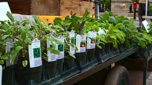 DSC_2080 - Version 22014-05-13-sages-herb-lycium-copley-square-farmer-market-© 2011 Penny Cherubino (1)