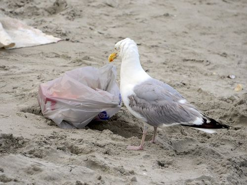CHE_3899 - Version 22014-07-24-nantasket-beach-hull-ma-thief-seagull-© 2011 Penny Cherubino