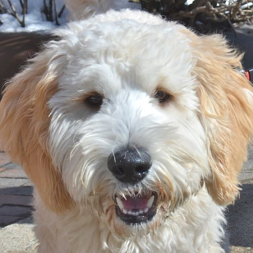 DSC_1239 - Version 22014-02-20-dog-bella-goldendoodle© 2011 Penny Cherubino