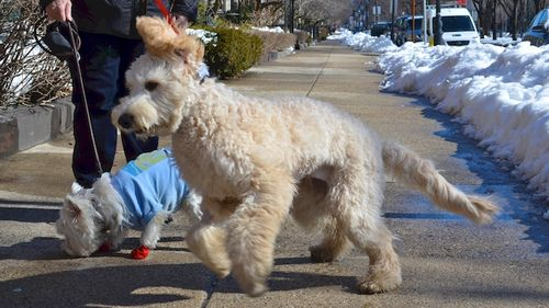 DSC_1219 - Version 22014-02-20-dog-bella-goldendoodle-poppy-westie-boots-© 2011 Penny Cherubino