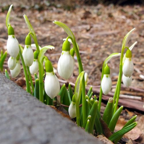 IMG_7304 - Version 22014-03-10snow drops, boston, commonwealth, avenue, garden-© 2011 Penny Cherubino