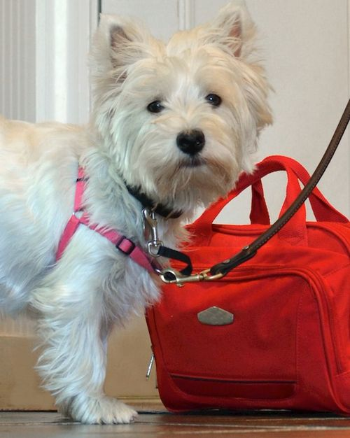 DSC_7073 - Version 22013-08-05-poppy-westie-bags-packed-© 2011 Penny Cherubino
