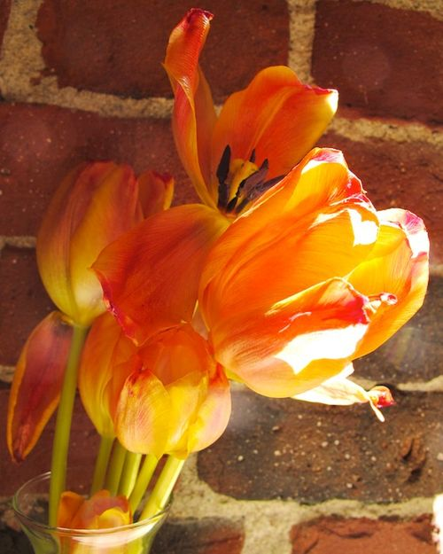 IMG_7314 - Version 22014-03-24tulips-reaching-for-the-light-© 2011 Penny Cherubino