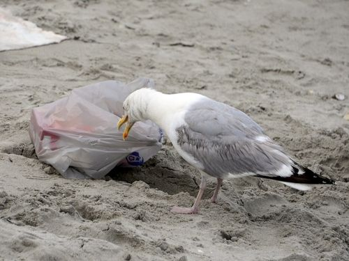 CHE_3900 - Version 22014-07-24-nantasket-beach-hull-ma-thief-seagull-© 2011 Penny Cherubino