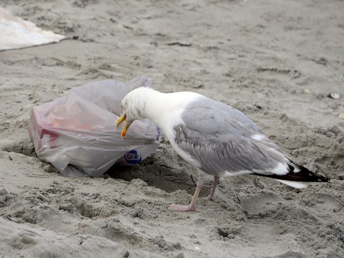 CHE_3900 - Version 22014-07-24-nantasket-beach-hull-ma-thief-seagull-© 2011 Penny Cherubino