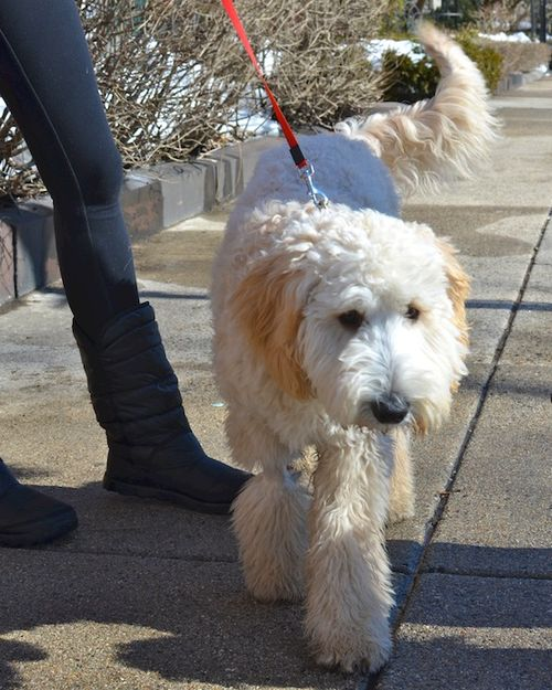 DSC_1243 - Version 22014-02-20-dog-bella-goldendoodle© 2011 Penny Cherubino