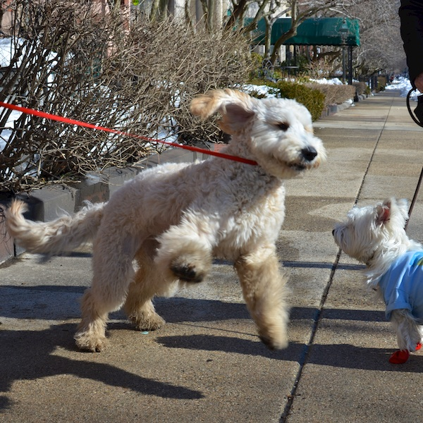 DSC_1224 - Version 22014-02-20-dog-bella-goldendoodle-poppy-westie-boots-© 2011 Penny Cherubino
