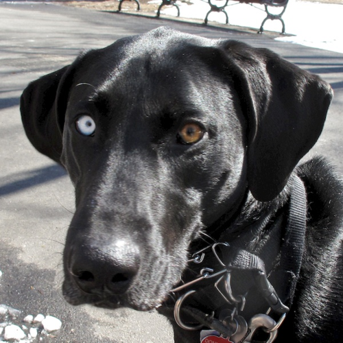 IMG_1308 - Version 22014-03-14-remi-black-dog-blue-eye-brown-eye-cute-© 2011 Penny Cherubino