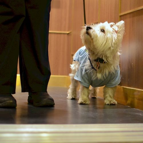 DSC_1796 - Version 32014-04-08-poppy-westie-elevator-attentive-dog-© 2011 Penny Cherubino