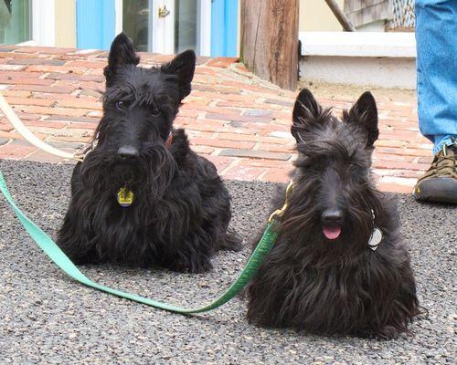 IMG_7372 - Version 22014-04-26-scottie-scottish-terrier-pair-© 2011 Penny Cherubino