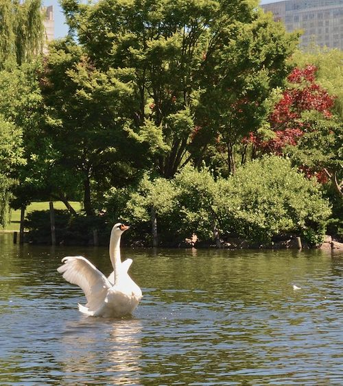 DSC_2980 - Version 32014-06-20-swan-public-garden-boston-dancing-© 2011 Penny Cherubino (1)