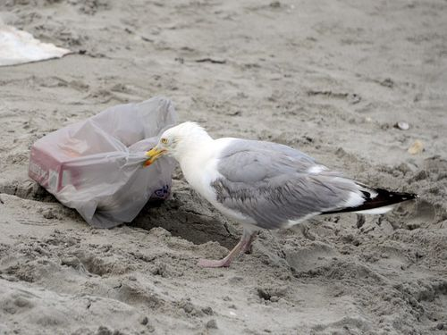 CHE_3901 - Version 22014-07-24-nantasket-beach-hull-ma-thief-seagull-© 2011 Penny Cherubino