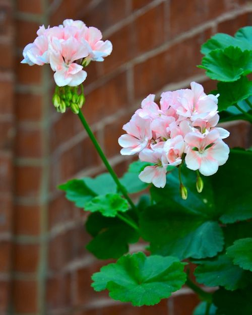 CHE_4202 - Version 22014-08-25geraniums-south-end-townhouse-boston-ma-© 2011 Penny Cherubino