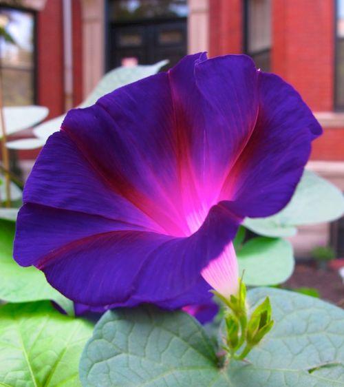 IMG_7564 - Version 22014-08-07morning-glory-© 2011 Penny Cherubino