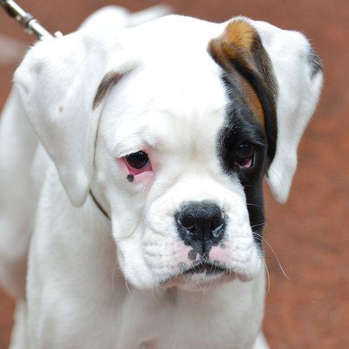 CHE_4822 - Version 22014-10-04-boxer-puppy-joe-© 2011 Penny Cherubino