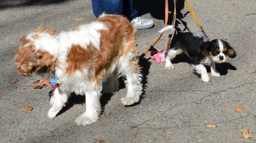 CHE_5320 - Version 22014-10-30-nessie-king-charles-cavalier-dog-puppy-connie-© 2014 Penny Cherubino