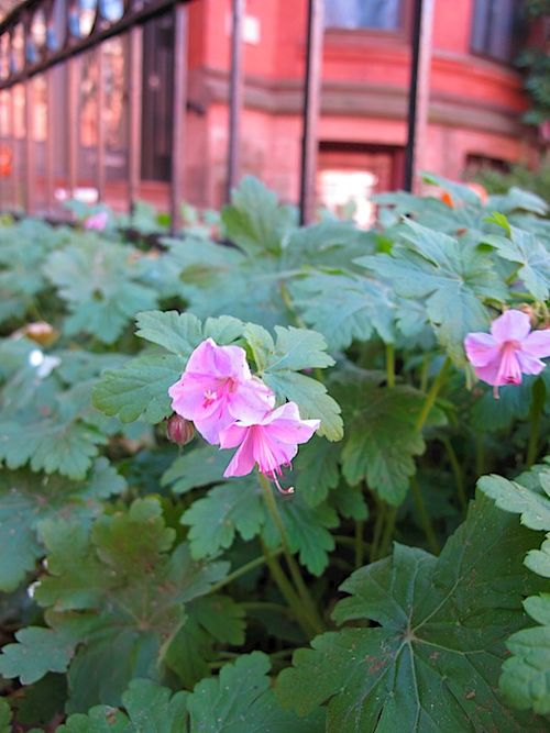 IMG_7745 - Version 22014-11-15geranium- blooming in November© 2014 Penny Cherubino
