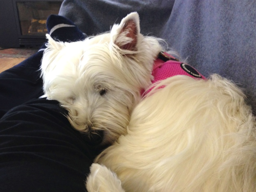 IMG_0631 - Version 22014-04-23Poppy-westie-sleeping-dog© 2014 Penny Cherubino copy