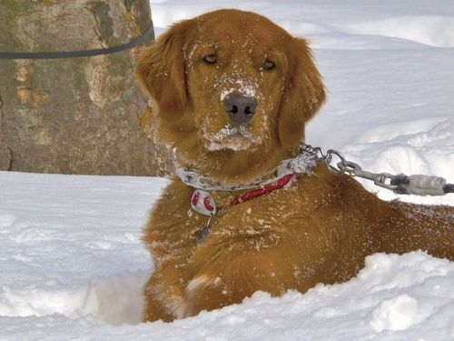 IMG_7843 - Version 22015-01-28-finn-snow-dog-fun-© 2014 Penny Cherubino (1) copy