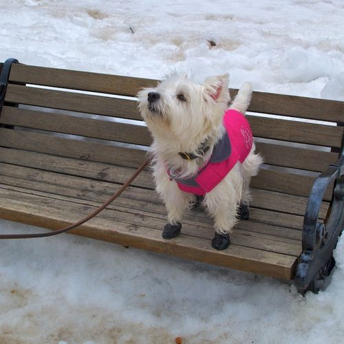 IMG_8111 - Version 22015-03-08-poppy-westie-bench-coat-boots-© 2014 Penny Cherubino