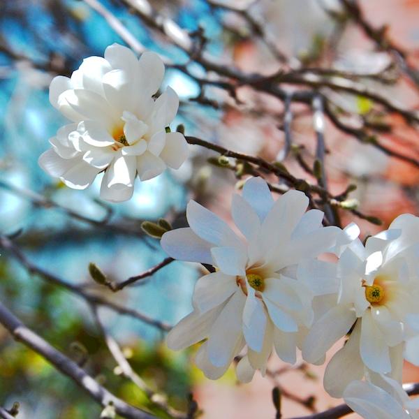CHE_6910 - Version 22015-04-19-spring-back-bay-boston-magnolias-© 2014 Penny Cherubino