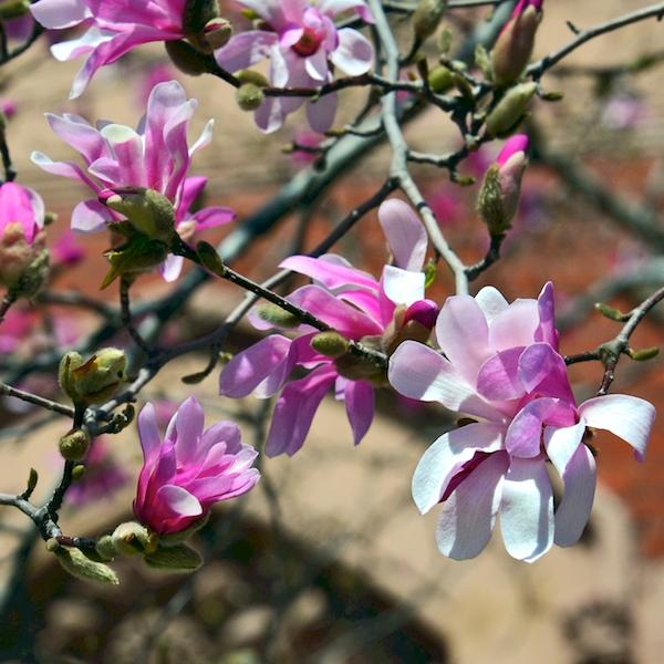 CHE_6890 - Version 42015-04-16-spring-back-bay-boston-magnolia-© 2014 Penny Cherubino