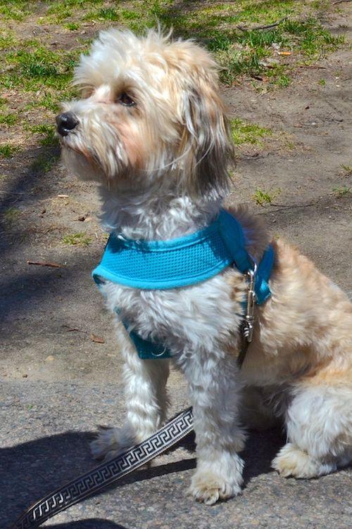 DSC_5656 - Version 22015-04-30-Leo-good-urban-dogs-Havanese-© 2014 Penny Cherubino
