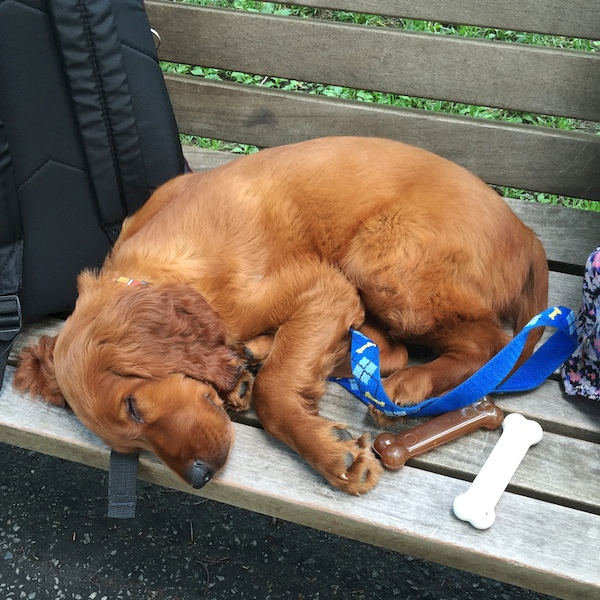 IMG_2625 - Version 22015-06-22-theo-irish-setter-puppy-© 2014 Penny Cherubino