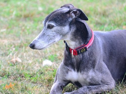 CHE_8405 - Version 22015-08-09-whippet-ainsely-charles-river-esplanade-© 2014 Penny Cherubino