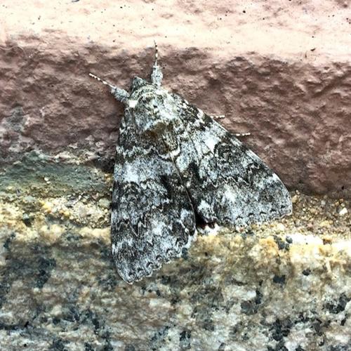 IMG_3382 - Version 22015-08-14-moth-boston-august-© 2014 Penny Cherubino