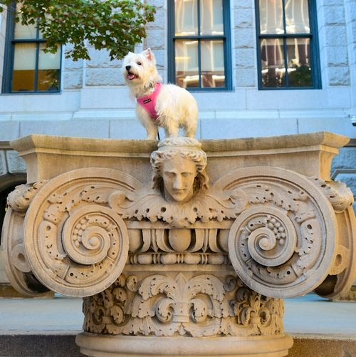 CHE_8855 - Version 22015-09-23Duchess-poppy-westie-speaks-judges-bench-pemperton- square- boston-© 2014 Penny Cherubino