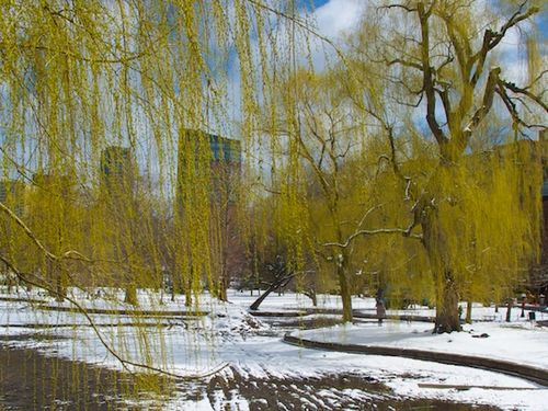 IMG_9516 - Version 22016-03-21Spring-snow-flowers-willows-public garden© 2014 Penny Cherubino