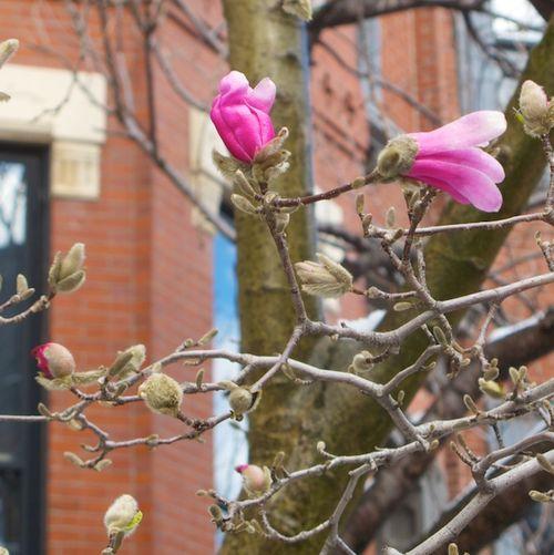 IMG_9520 - Version 22016-03-21Spring-snow-flowers-magnolias© 2014 Penny Cherubino