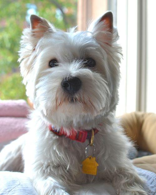 DSC_8069 - Version 22013-09-05poppy-well-groomed-westie-© 2011 Penny Cherubino