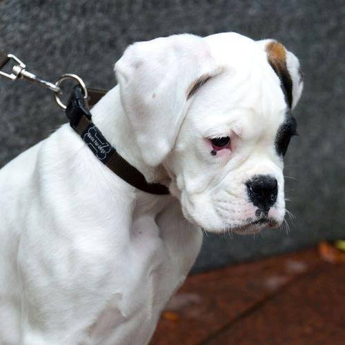 CHE_4817 - Version 22014-10-04-boxer-puppy-joe-© 2011 Penny Cherubino