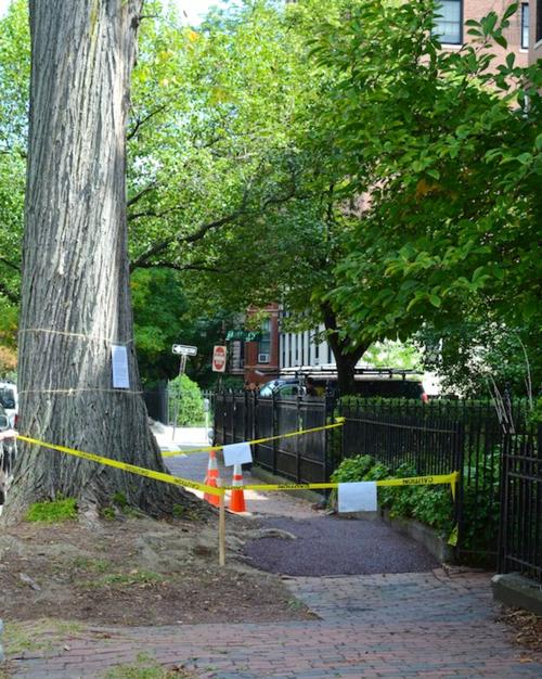 DSC_3962 - Version 32014-09-10flexi-pave-covering-tree-roots-sidewalk-© 2014 Penny Cherubino