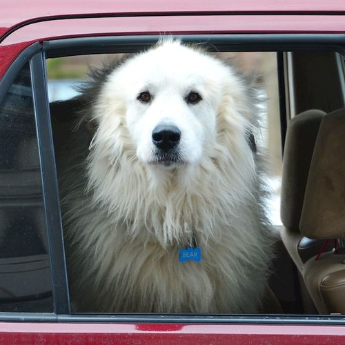 CHE_5735 - Version 22015-01-16-great-Pyrenees-in-car-window-© 2014 Penny Cherubino