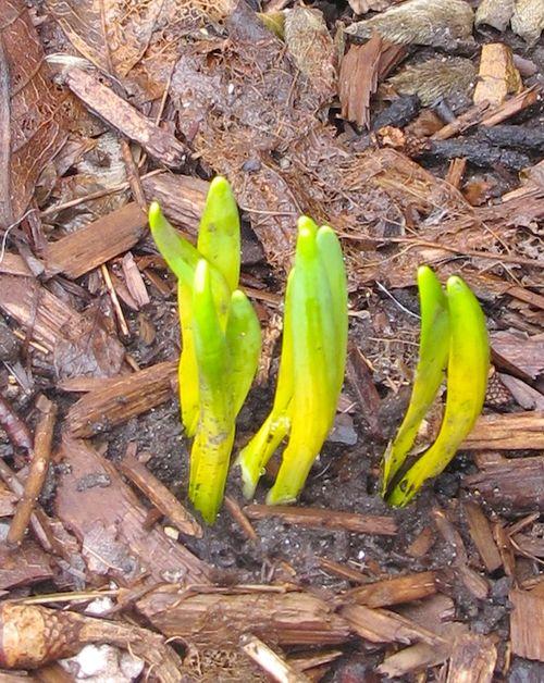 IMG_8118 - Version 22015-03-15-boston-daffodils-commonwealth-avenue-© 2014 Penny Cherubino