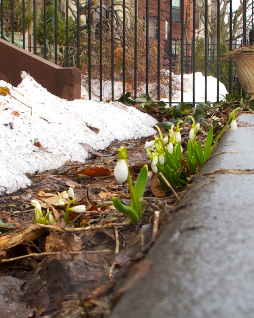 IMG_8131 - Version 22015-03-15-boston-snow-drops-commonwealth-avenue-© 2014 Penny Cherubino