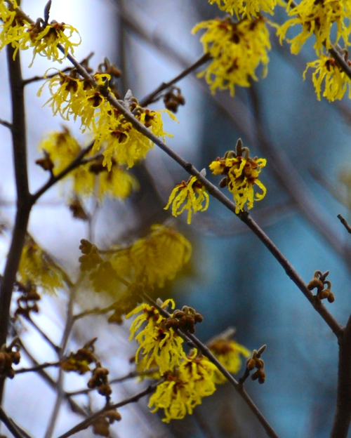 CHE_6431 - Version 32015-04-02-spring-boston-witchhazel-public-garden-© 2014 Penny Cherubino
