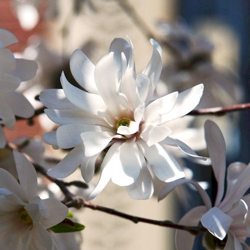 CHE_6905 - Version 22015-04-19-spring-back-bay-boston-magnolias-© 2014 Penny Cherubino