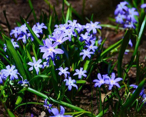 CHE_6900 - Version 22015-04-19-blue-ground-cover-Lithodora-© 2014 Penny Cherubino