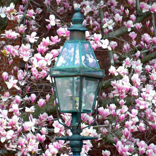 CHE_7108 - Version 22015-04-26magnolias-gaslamp-back-bay-© 2014 Penny Cherubino