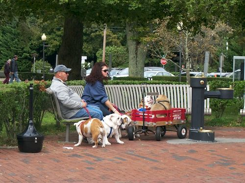 IMG_8646 - Version 22015-10-05-provincetown-dogs-bulldogs-© 2014 Penny Cherubino