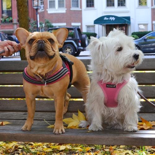 DSC_6929 - Version 22015-10-16-french-bulldog-chunk-poppy-westie-frenchie-© 2014 Penny Cherubino (1)