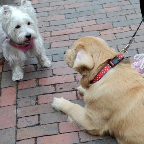 DSC_7579 - Version 22015-12-14gus-golden-puppy-back-bay-boston-© 2014 Penny Cherubino