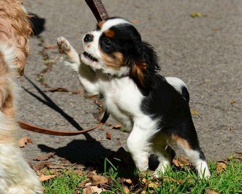 CHE_5332 - Version 22014-10-30-nessie-king-charles-cavalier-dog-puppy-connie-© 2014 Penny Cherubino