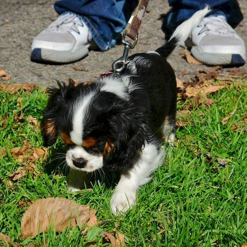 CHE_5341 - Version 22014-10-30-nessie-king-charles-cavalier-dog-puppy-connie-© 2014 Penny Cherubino
